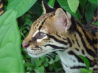Rescued & Rehabbed Ocelot