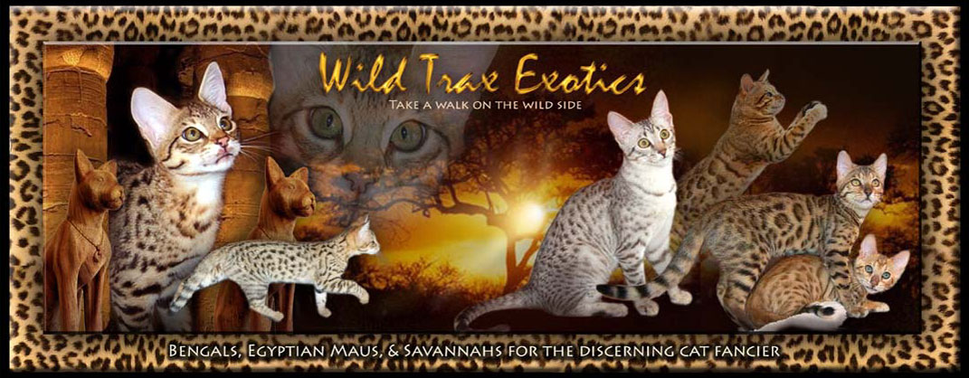 Bengals, Egyptian Maus, and Savannah Kittens for sale by